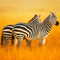 The Zebra  APKs (Mod) Download – for android